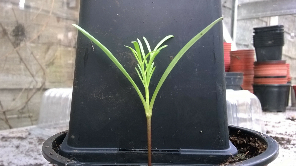 Cosmos seedling with 2 sets of leaves, ready for pricking out