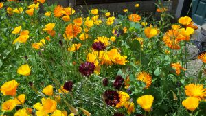 Bees Friendly Cornflowers, Marigolds and Californian Poppies