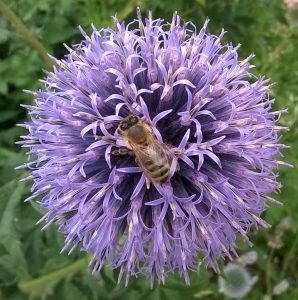 Honey bees on a Globe Thistle