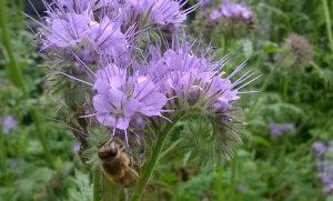 Honey Bee on Purple Tansy