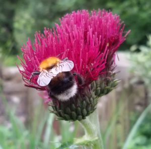 Tree Bumble bees on a Brook thistle