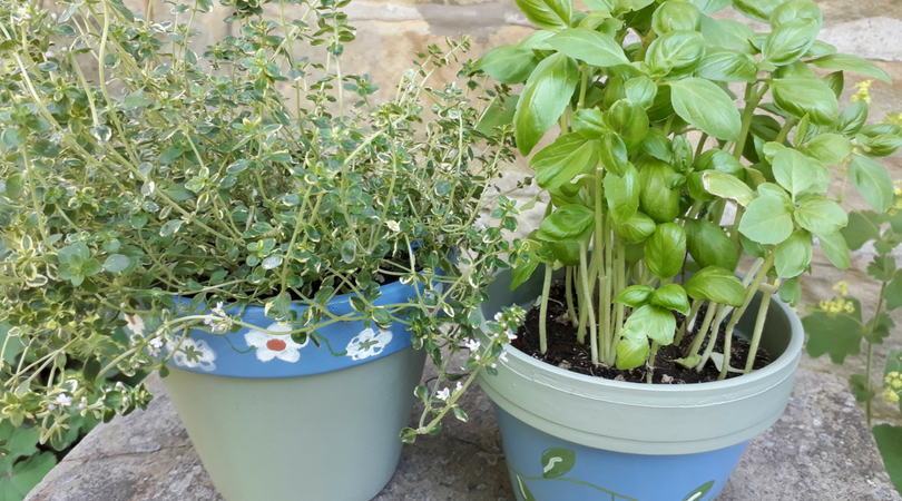 Herbs - Thyme and Basil