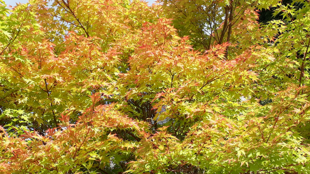 Coral Bark Maple