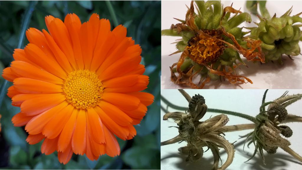 Calendula flower and seed heads