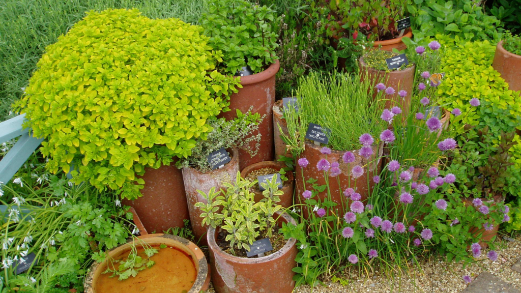 Herbs in Clay pots