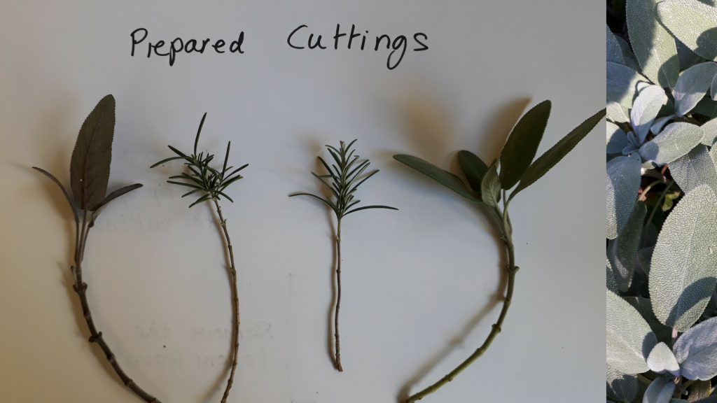 Prepared semi-ripe stem cuttings of Herbs