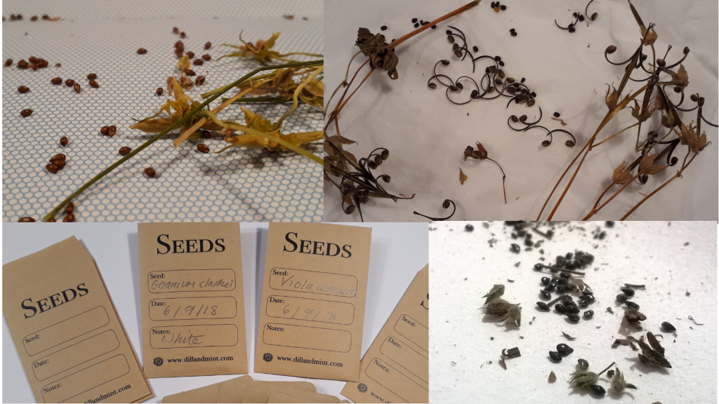 Getting seeds ready for storing