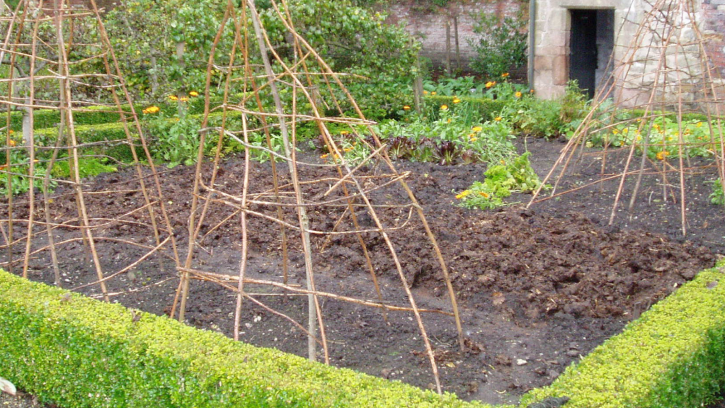 Using manure to mulch a vegetable bed.