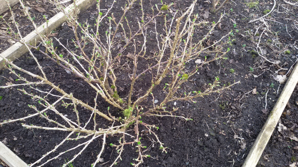 Gooseberry bush pruning