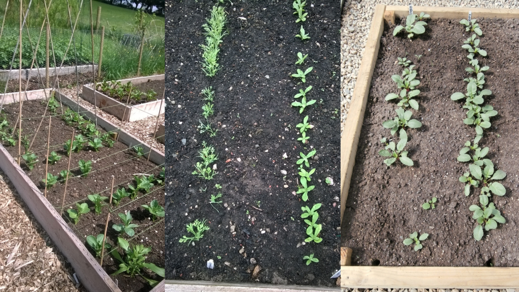 Outdoor vegetable seed sowing