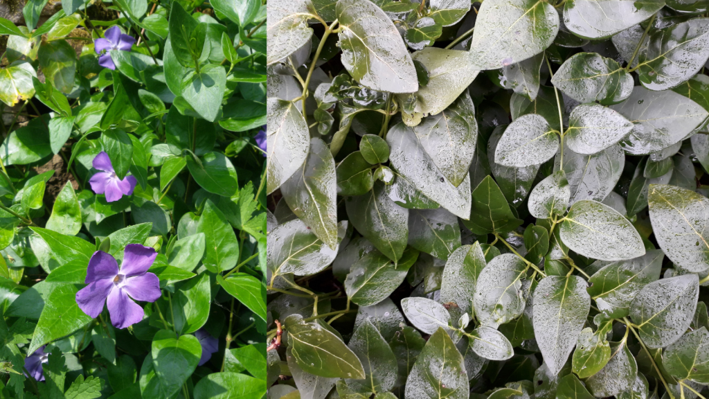 Periwinkle - great ground cover