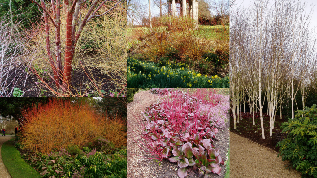 Winter stems for colour in your garden