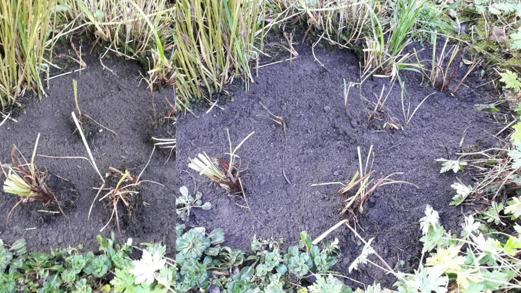 Re-planting Iris
