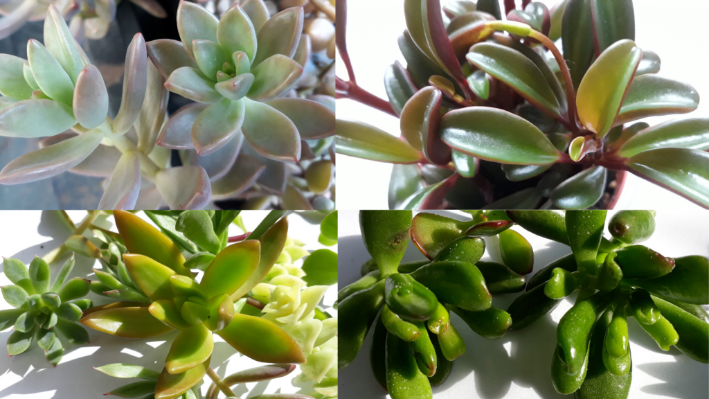 Succulent houseplants