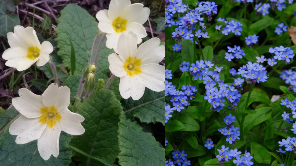 Primrose and Forget-me-not