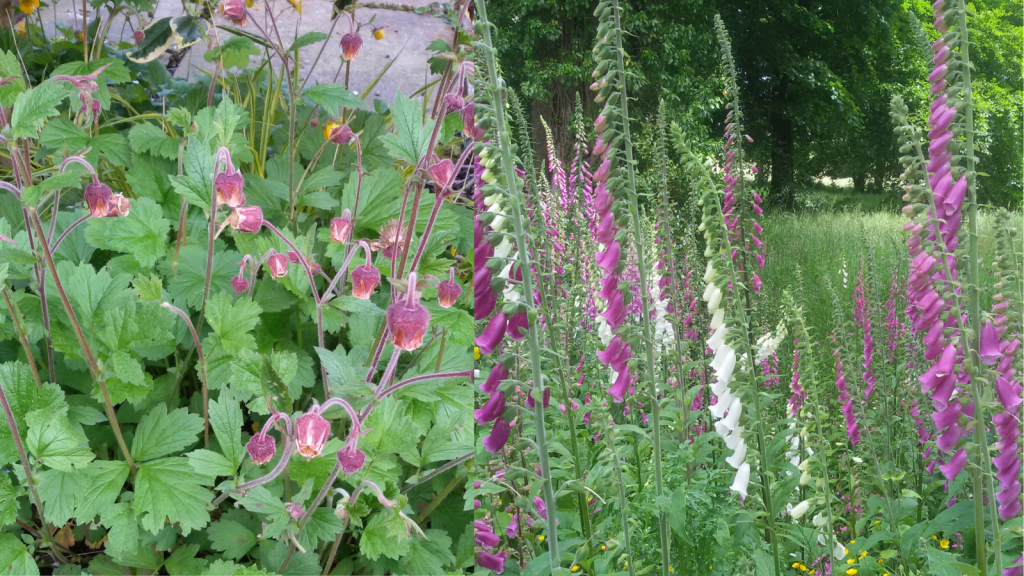 Water Avens and Foxglove