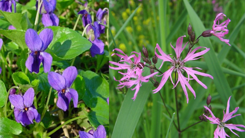 Dog violet and Ragged Robin
